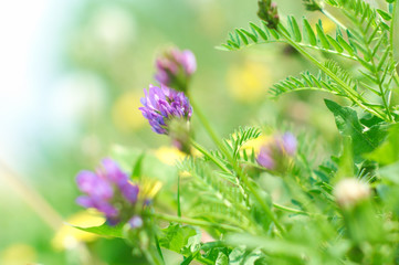 Beautiful clover flowers