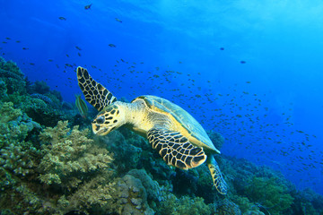 Hawksbill Turtle rips off a bunch of soft coral