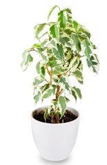 Green ficus tree in a white pot isolated on white