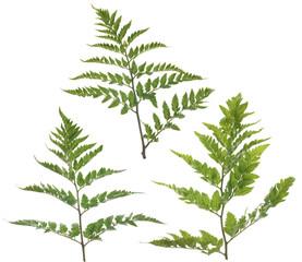 Fern leafs