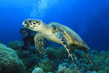 Hawksbill Turtle with Scuba Diver