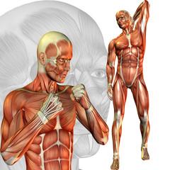 männliche Muskelstudie