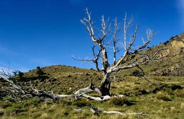 A dead tree in Los Glaciares NP