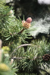 pollen, polen, allergie, alergie, rhume, pin, sapin