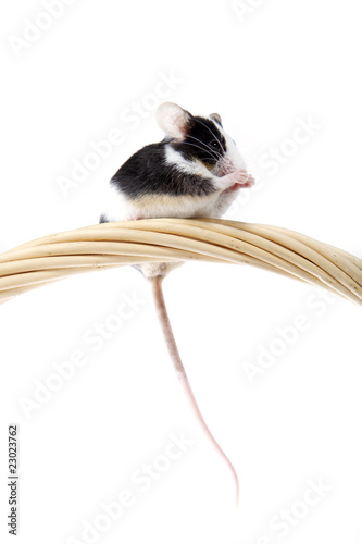 Petite souris qui fait sa toilette photo libre de - Petite souris qui danse ...