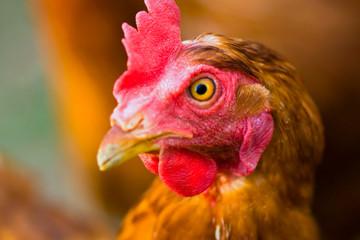 Close up on an organically raised, free range chicken