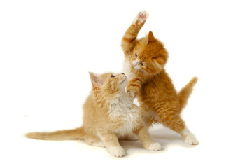 Fighting kittens
