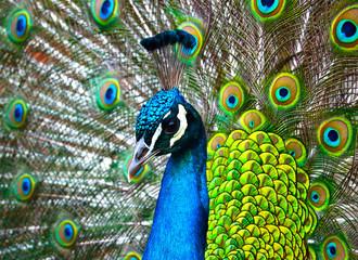 Paon bleu et vert