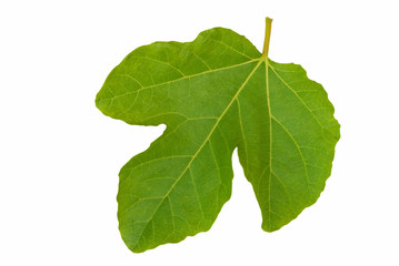 Fig leaf - isolated over white.