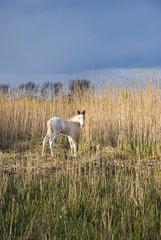A beautiful white newborn foal