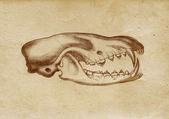Bear's Skull Illustration (from late 1800)