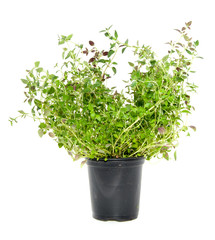 a black plastic flowerpot with fresh basil isolated over white