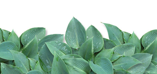hosta_leaves isolated_frame