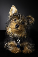 Cute picture of a young Yorkshire Terrier with a portrait style