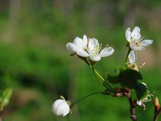 four cherry flowers