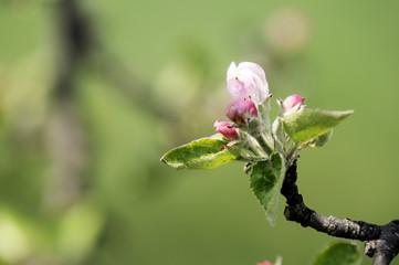 bourgeon de pommier