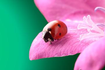 ladybird on rose flower