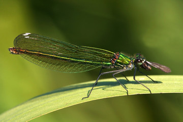 Close-up of a Banded Demoiselle ( Calopteryx splendens ), female