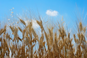 Dry golden wheat stems