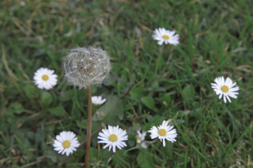 Background Picture of Dandelion