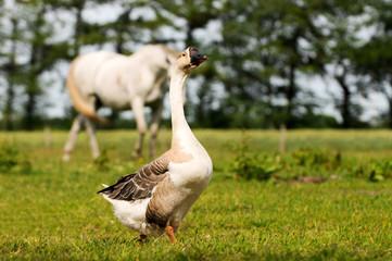 Höckergans auf Pferdeweide