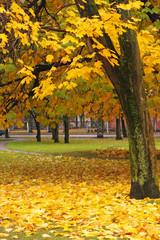 yellow maple, autumn