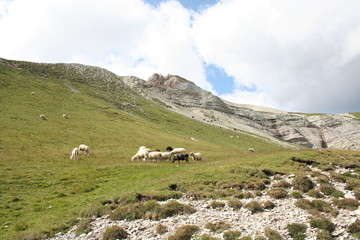 Sheeps in Puez's country