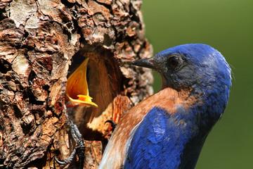 Fotoväggar - Male Eastern Bluebird Feeding A Baby