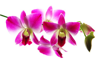 Fresh violet orchids isolated on white background