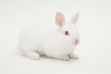white rabbit white background