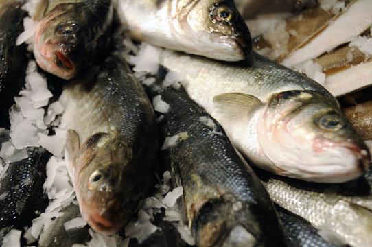 sea bass 4