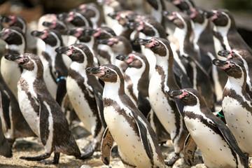 Peruvian Penguins, Austria