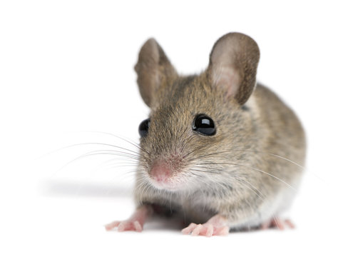 Front view of Wood mouse in front of white background