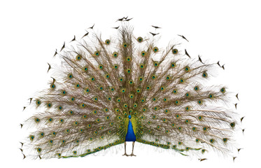 Fotorolgordijn Pauw Front view of Male Indian Peafowl displaying tail feathers