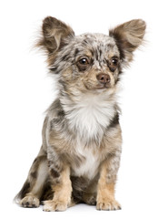 Front view of Chihuahua puppy, 8 months old