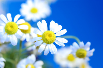 some spring daisies on a background of sky