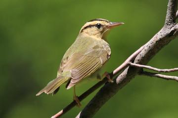 Fotoväggar - Worm-eating Warbler (Helmitheros vermivorum)