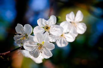 Сherry blossoms