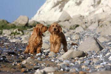 bavardage de deux bassets fauve de Bretagne à la plage