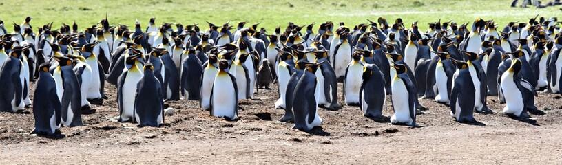 Photo sur Plexiglas Pingouin King Penguins at Volunteer Point