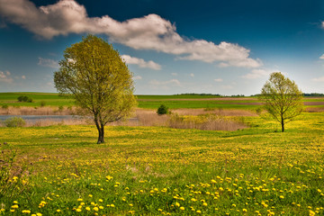 Two lonely trees on a yellow marsh meadow on a sunny day