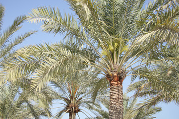 Dates flowers and buds in a date palm trees