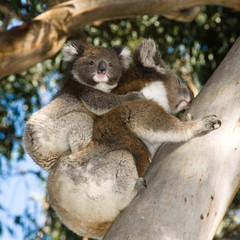 Koala Bear mother with baby on back climbing tree