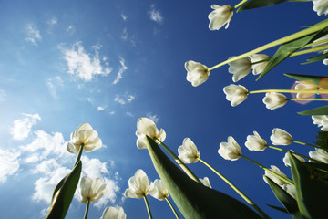 Wall Mural - Tulip flowers over blue sky background