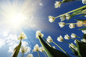 Wall Mural - Tulip flowers over sky background