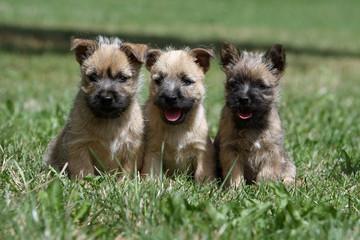 trois chiots de race cairn terrier assis de face