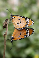 Beautiful Butterfly mating couple