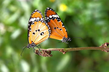 Beautiful Butterfly couple