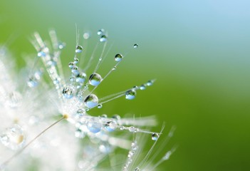 Photo sur Toile Pissenlits et eau Dandelion seed with drops