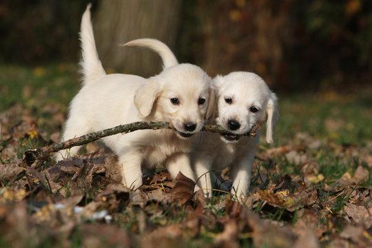deux chiots golden retrievers jouant avec un bout de bois